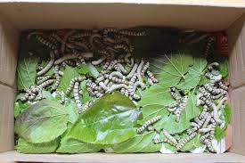 Resultado de imagen de gusanos de seda