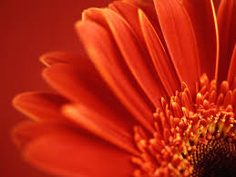 Red Flower Wallpaper Gallery Of 43 Red Flower Backgrounds Wallpapers B Scb Wallpapers