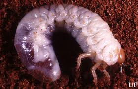 White Grubs Phyllophaga And Other Species