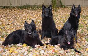 groenendael dog like all belgium shepherd