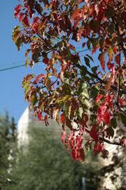 the apple tree leaves blush at autumn
