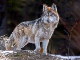 photo the mexican grey wolf