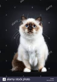 black cats with blue eyes and white paws.  Black Excellent Seal Point Sacred Birman Cat Kitten With Perfect White Paws  Sitting Tail Around Body In Black Cats With Blue Eyes And White Paws