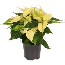 Weihnachtsstern Weiß Topf ø Ca 105 Cm Euphorbia Pulcherrima