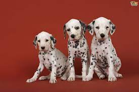 Caring for your Dalmatian Puppy ...