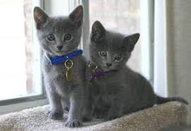male and female russian blue kitten well train singapore free clifieds muamat