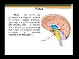 Контрольная работа Центральная нервная система Головной мозг  Мост головного мозга контрольная работа