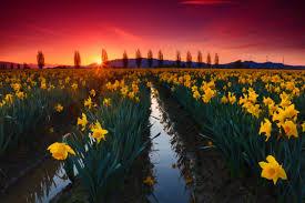 la conner daffodil festival 2018 festivals events la conner daffodil festival love la conner love la conner