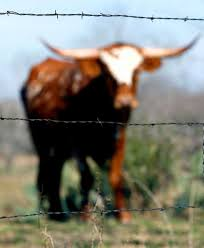 barbed wire fence cattle. A Barbed Wire Fence Separates Cattle From The Road In South Bexar County. Photo: O