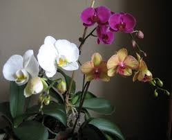 Easy Orchid For Beginners The Moth Orchid Dengarden