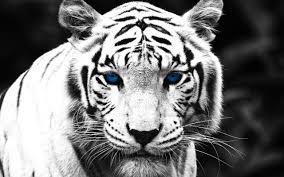 black tiger with blue eyes wallpaper. Exellent Tiger 5120 X 3200  4K UHD WHXGA And Black Tiger With Blue Eyes Wallpaper I