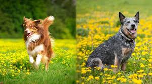Cattle Dog Weight Chart Australian Shepherd Vs Australian Cattle Dog Differences