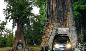 chandelier drive through tree chandelier tree redwood drive thru