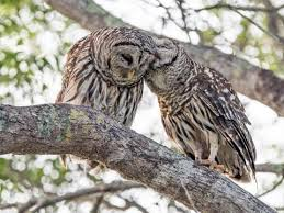Barred Owl Identification All About Birds Cornell Lab Of