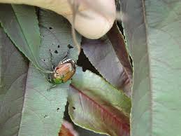 japanese beetles life cycle protecting my plants from japanese beetles turfgator