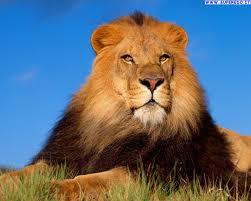Risultati immagini per leoni