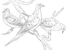 Small Picture Palomas Migratorias Dibujo para colorear pjaros y aves
