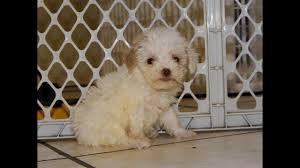 not puppyfind craigslist oodle kijiji hoobly ebay marketplace atlanta georgia toy poodle