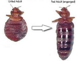 Bed bug sizes Cimex Lectularius Size Comparison Of Fed Bed Bug Bed Bugs Pictures Of What Bed Bugs Look Like Photos Of Bed Bug Bites