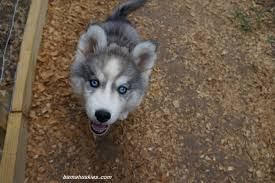 white and grey husky puppy. Delighful Puppy Husky Puppy For Sale Georgia With White And Grey Husky Puppy E