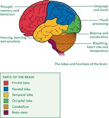 Brain Diagram With Functions Nervous System Structure Human