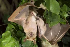 Types Of Bats Chart 25 Of The Cutest Bat Species Mnn Mother Nature Network