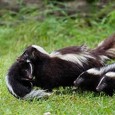 skunk removal cost.  Skunk Skunk Family With Removal Cost