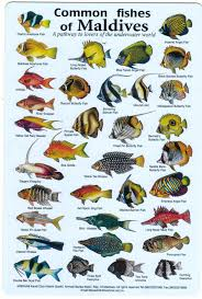 Fishes Of The Maldives Identification Chart Water Resistant