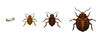 How Many Types Of Bed Bugs Are There In Singapore