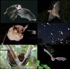 Bat Species Chart Bat Wikipedia