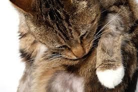 feline miliary dermais in cats