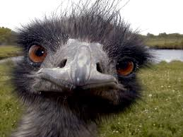 """Résultat de recherche d'images pour """"emu"""""""