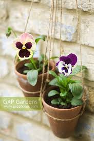 pansies in hanging terracotta pots with home made twine hangers against old brick wall