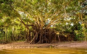 amazon rainforest. Delighful Rainforest Amazon Rainforest Tree Throughout Rainforest T