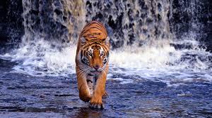 3D Tiger HD Wallpapers