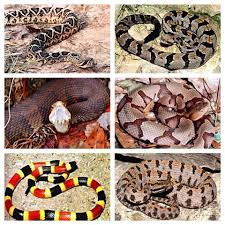 Georgia Snake Identification Chart Do You Know The Types Of Venomous Snakes In Your State