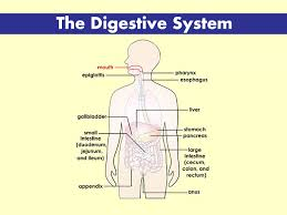 Digestive System Flow Chart Worksheet Your Digestive System For Kids Nemours Kidshealth