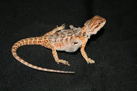 picture a baby bearded dragon