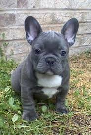 teacup blue french bulldog puppies. Exellent Bulldog All Photos And Content Of This Web Site Are Property ForeverYoung French  Bulldogs On Teacup Blue Bulldog Puppies U