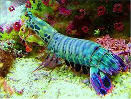 Image result for Mantis Shrimp