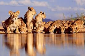 wild animals in african forest. Beautiful African Whether These Wildlife Animals In Africa Or Young Beautiful Dangerous Lions  Are Zoo Forest Lions Those Visiting Endangered Animal Protection  Throughout Wild Animals In African Forest