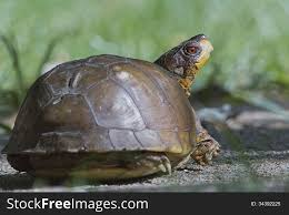 Box Turtle Back Free Stock Images Photos 34392225