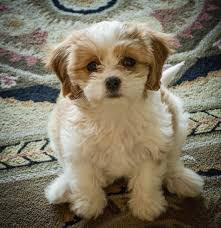 Cavachon Puppy Weight Chart Cavachon The Complete Owners Guide To The Cavachon Breed