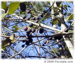 Whatu0027s The Difference Between Green And Black Olives Anyway Wild Olive Tree Fruit