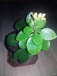 Стайни цветя растат във всеки дом. Gr Ruse Cvetya Stajni Cvetya Dekorativni Rasteniya Gr Ruse Eshaveriya Agave Tradeskanciya Aureu