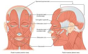 11 3 Axial Muscles Of The Head Neck And Back Anatomy And
