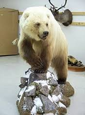 grolar bear size arctic roamers the move of southern species into far north yale e360