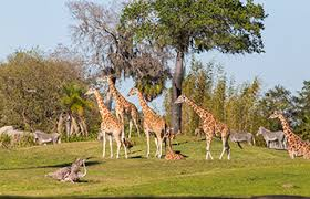 busch gardens serengeti safari. See The Serengeti Plains At Busch Gardens Tampa Bay Safari
