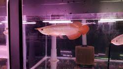 super red super red arowana fish