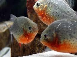 Piranha Story Of The Piranha Fish From Predator To Prey